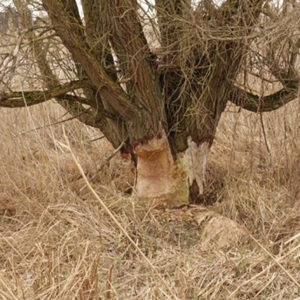 Auch dicke Baumstämme fällt der Biber nach und nach