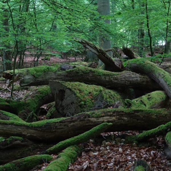 Baumleichen im Serrahner Buchenwald