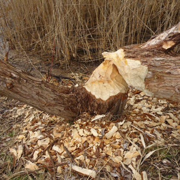 Der Biber hat einen Baum gefällt
