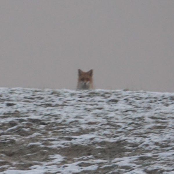 Ein Fuchs beobachtet uns von einem weit entfernten Hügel