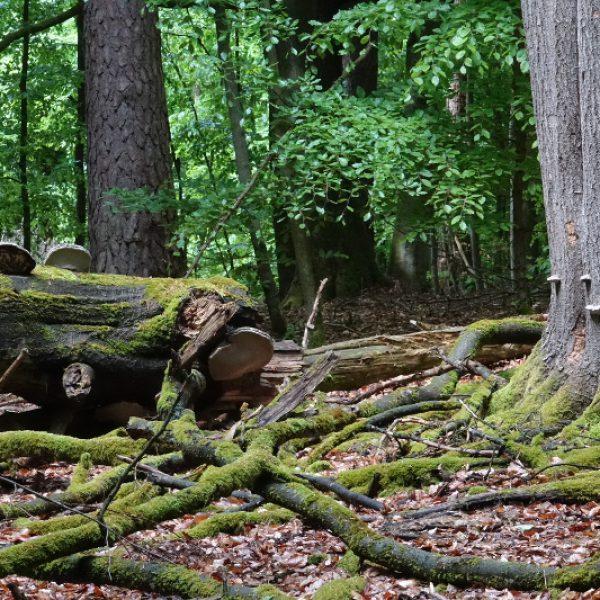 Moose und Pilze zersetzen die alten Baumleichen
