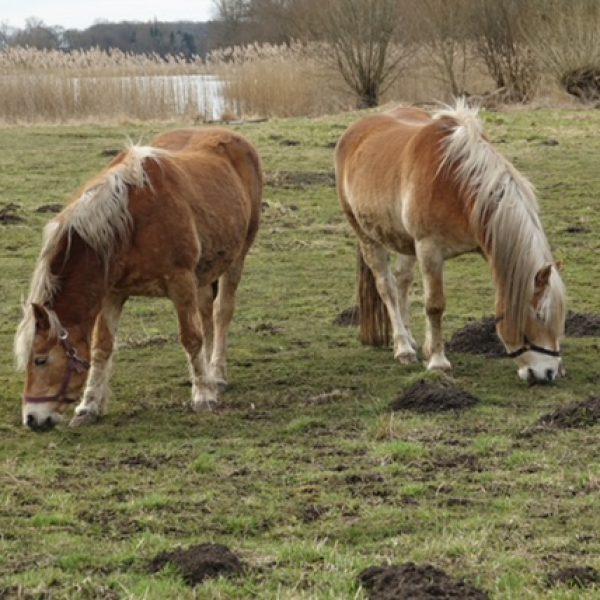 Pferde am Nordostufer