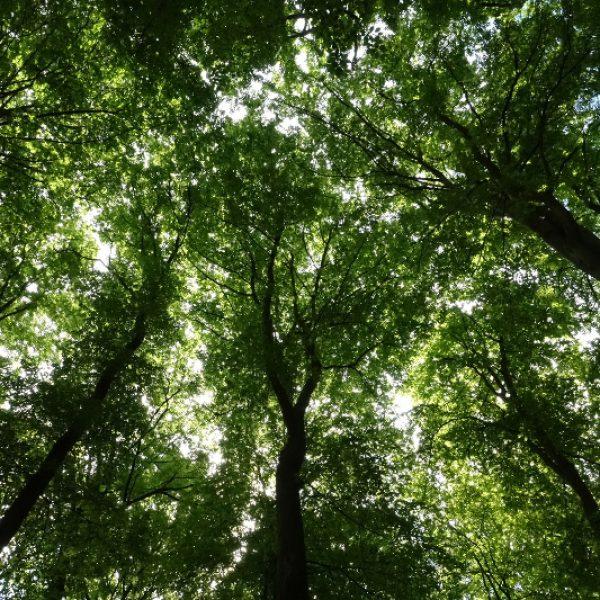Unter dem Blätterdach riesiger Buchen