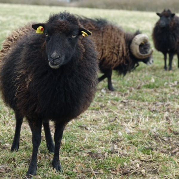 neugierige Schafe kommen gerne an den Koppelzaun