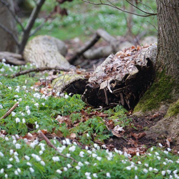 zum natürlichen Wald gehört auch Totholz